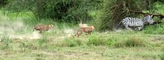 We can't get enough zebra (John Kok) Tags: tanzania ndutu april2017 nikkor30028vr2 cheetah acinonyxjubatus zebra equusquagga