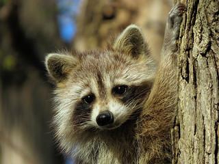 Mignon raton / Cute raccoon / 1