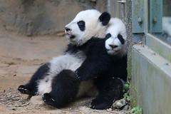 Lean on Me (smileybears) Tags: zooatlanta panda pandacub pandatwins giantpanda bear yalun xilun