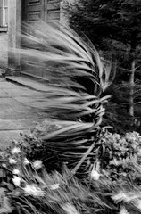 Spring Breeze (Richie Rue) Tags: nikon fm film analogue analog ilford hp5 developer:name=tetenalultrafin spring breeze wind windy gusty garden plants motion movement daffodils