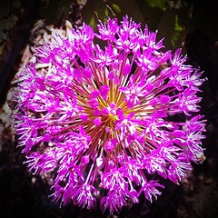 Allium fireworks (MissyPenny) Tags: allium flower spring southeasternpa purple showey