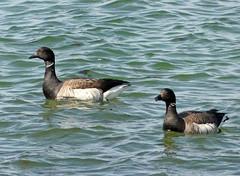 Brant (Branta bernicla) (Francisco Piedrahita) Tags: aves birds goose brant brantabernicla