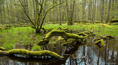 Bialowieza National Park (Michal Kukla) Tags: bialowieza bnp primeval forest ancient driftwood green mosses