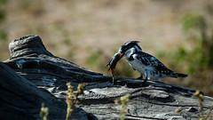 Kingfisher Pied-35.jpg (michael heyns) Tags: bontvisvanger botswana2017 piedkingfisher