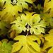 "Cincinnati – Spring Grove Cemetery & Arboretum ""Little Honey Oakleaf Hydrangea"""