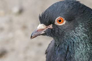 Feral Pigeon Portrait (Columba livia domestica)