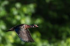 Wood Duck Drake (rob.wallace) Tags: wood duck drake in flight waterfowl huntley meadows park alexandria va spring 2017