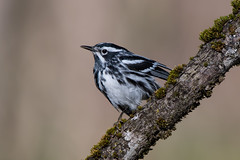 Black and White Warbler (Male) (Jesse_in_CT) Tags: blackandwhitewarbler nikon200500mm