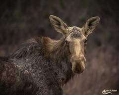 Cow Moose (Chris St. Michael) Tags: cow moose algonquin nature wildlife naturephotography
