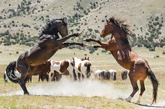 wild horses-6777 (Jami Bollschweiler Photography) Tags: wild horses horse onaqui herd utah west deset wildlife photography great basin