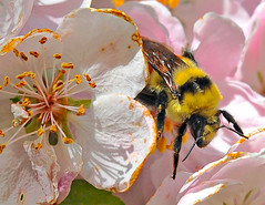Pollen  round-up (Starkrusher (On the road)) Tags: bees honeybees pollen macro