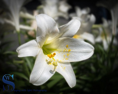 Spring brings beautiful flowers and pollen (Singing With Light) Tags: 2016 28th alpha6500 april lensbaby mirrorless singingwithlight sonya6500 lensbabytrio28 photography singingwithlightphotography sony