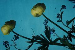 1954-6-27--Alpine Flowers- Button of Gold- Austria (foundslides) Tags: foundslides irmarudd irmalouisecarter irmalouiserudd kodachrome kodak vacation tourist 1953 1954 1950s americantourist photography pics pictures slide slidefilm transparencies color photographs photos postwar germany austria communist nazi worldwarii ww2 photographic europe europa deutschland osterrreich russian lanscape cityscape carter irma flickr