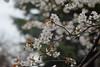 Prunus jamasakura (Masaoki Hirai) Tags: trioplanf28100 prunus cerasus rosaceae cherryblossoms