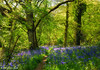Northamptonshire Bluebells (Ninja Dog - 忍者犬) Tags: 2017 spring everdon highwood northamptonshire eastmidlands uk england english nikon raw tonemapped d7200 landscape scenery woodland woods oaktrees bluebells beechtrees trees sunlight colour green yellow blue bluebellwoods nature natural peace tranquility