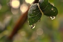 nourish (joy.jordan) Tags: leaves raindrops water texture bokeh nature nevis westindies