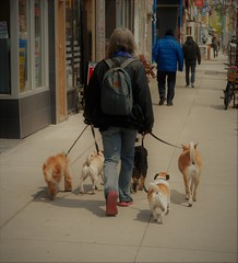 dog team (f o t o o r a n g e) Tags: dogwalker toronto