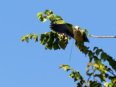 (Adisla) Tags: olympus em1 zuiko 150mm f2 ec14 ave volar cotorra argentina