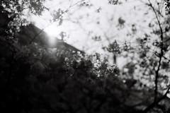 Thursday in the park (yasu19_67) Tags: nikonfe10 voigtlanderultron40mmf2slii 40mm lomography lomographyladygreybw400 bw monochrome park film filmism filmphotography analog sunlight atmosphere photooftheday osaka japan bokeh