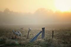 Good Morning (holly hop) Tags: fog foggy farm fence fencefriday farmfence sheepfarm sheep lambs dawn sunrise daybreak morning myplace hff 100xthe2017edition abctvweather wow sedge808sfaves