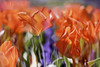 Tulips in a Dream (Photo Amy) Tags: canon50d ef50mm18 flowers flower tulip tulips abstract hss happyslidersunday red orange green purple spring april pennstatearboretum