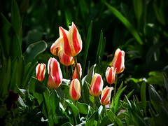 Red and White (R_Ivanova) Tags: nature flower flowers tulip spring garden colors color green red white macro sony plant outdoor rivanova риванова цветя лале природа пролет макро