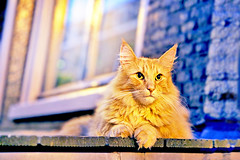 Amstercat (kirstiecat) Tags: catsterdam amstercat cat chat feline kat beautiful night light mainecoon gato chatte amsterdam netherlands caturday