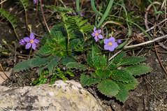 Ramonda myconi (Thanks for +240.000 views) Tags: orella dos mullein rosette ramonda myconi flor flower planta