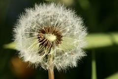 grrrrr (AngharadW) Tags: dandelion macro dof seeds angharadw weeds