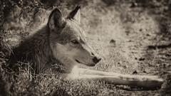 Resting Wolf (danielledufour430) Tags: animal mammal carnivore predator wolf canine wildlife nature beautiful resting blackandwhite monochrome sonya6000