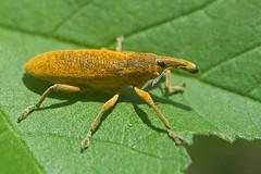 Nosy (Luis-Gaspar) Tags: animal insect insecto gorgulho gorgulhodasmalvas weevil lixusangustatus coleoptera curculionidae portugal oeiras pacodearcos nikon d60 18105 f8 1640 iso400