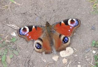 Peacock butterfly (Aglais io), Sandy, Bedfordshire