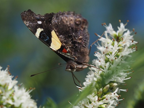 Yellow Admiral feeding on Hebe