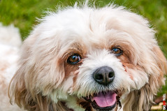 Bubbles (BigRedTroll) Tags: animal beautiful cute devotion dog eyes fluffy headshot mammal nature people portrait stare