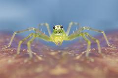 lyssomanes viridis (alexgd93) Tags: salticidae jumping spider spiders macrofotografía arañas saltarinas fotografía naturaleza insectos insects profundidaddecampo animal brillante insecto alimento photography macrophotography reverselens airelibre
