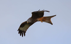 Red kite (xDigital-Dreamsx) Tags: bird birdofprey kite red redkite raptor hawk hunter hunting talons flight flying nature wildlife scotland