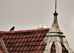 Just ignore him George, (Les Fisher) Tags: seagulls altercation sheringham rooftop makemesmile