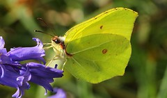 Brimstone 250417 (2) (Richard Collier - Wildlife and Travel Photography) Tags: wildlife naturalhistory insects butterflies brimstone macro yellow british bluebell britishinsect ngc