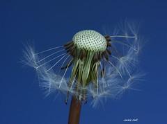 IMG_4429 (Jackie Hall 70) Tags: dandelion taraxacum