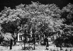 Hidden Mansion (wanderingYew2 (thanks for 3M+ views!)) Tags: 120 austin austintx austintexas fujigw690 governorsmansion r72filter blackandwhite film filmscan infrared infraredfilm mediumformat