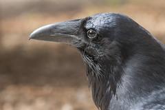 Raven (Andrew_Leggett) Tags: corvuscorax raven portrait bird corvid black glossy sheen beak dagger stare forest forestfloor woodland grandcorbeau raaf closeup animal woods intothewoods
