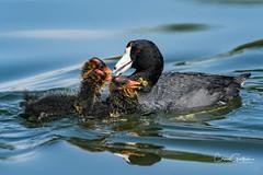Cooties (craig goettsch) Tags: floydlambpark american coot babies chicks bird avian nature wildlife