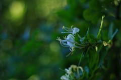 honeysuckle and bokeh (pepperberryfarm) Tags: smca50mmf17 honeysuckle bokeh sunset