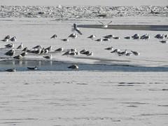 чайки (denis.shumov) Tags: лед чайки питер