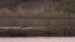 Fox - pre-dawn light (Tony McLean) Tags: ©2017tonymclean tophilllow eastyorkshire naturephotography wildlifephotography nikond4 nikon500f4gvr dawn dawnlight fox