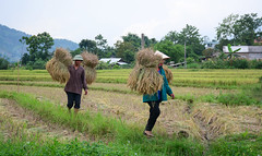 People harvesting rice on the field in Vietnam (phuong.sg@gmail.com) Tags: agriculture asia asian basket clothes country countryside cultivation cultural culture curve ethnic farm field highland hill hmong hut indigenousculture indochina irrigation minority mountain native natural nature plantation rice ricefield ricepaddy riceterraces sapa terraced tourism tradition traditionalclothes traditionalculture tribe valley vietnam vietnamese women