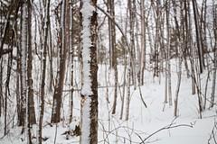 Day 17 of 366 - Stripes of snow (manyamoon) Tags: forest hikenewhampshire newhampshire rattlesnakemountain sidewayssnow snow squamlake trees winter winterhike winterhiking winterweather