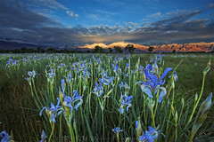 Time to grow (DM Weber) Tags: iris eastern sierra flowers blue lit up mountains california landscape dmweber psa148 love gods creation