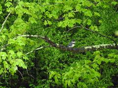 Belted Kingfisher (Explored) (GoldenEagle754) Tags: kingfisher beltedkingfisher collegelake lynchburgcollege lynchburg virginia birdwatching bird birds birding birder outside outdoors green leaves branches tree spring animal