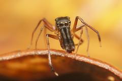 Myrmarachne (alexgd93) Tags: salticidae jumping spider spiders macrofotografía arañas saltarinas fotografía naturaleza insectos insects profundidaddecampo animal brillante insecto alimento photography macrophotography reverselens airelibre